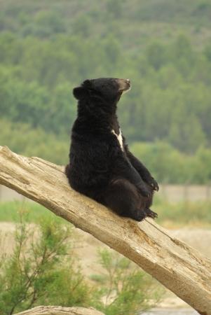 oso negro: Oso negro sentado en un tronco de árbol