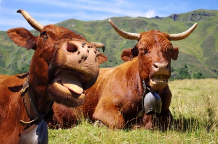 French cows sticking out tongue - Rural scene Standard-Bild