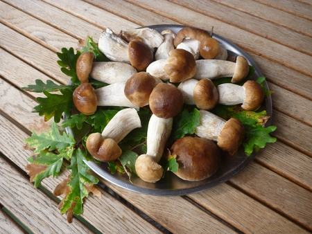 landes: Successful mushroom picking in the landes forest in the southwestern france