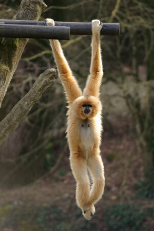 Gibbon are animals of the air, moving with agility by swinging one branch to the next