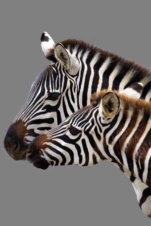 Young  zebra and his mother. Isolated on grey background