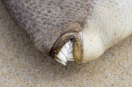 dead fish: Close up on dead triggerfish teeth