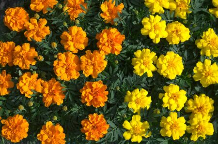 Close-up on orange and yellow French marigold flowers Stock Photo