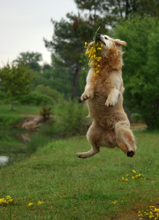 dogs playing: Golden retriever jumping Stock Photo
