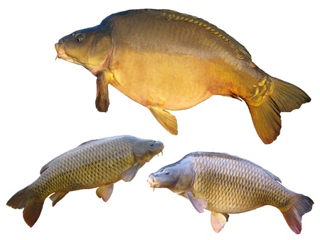 Common carps and mirror carp isolated on white background Stock Photo