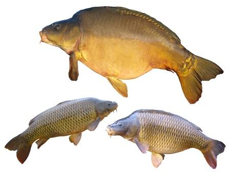 Common carps and mirror carp isolated on white background Stock Photo