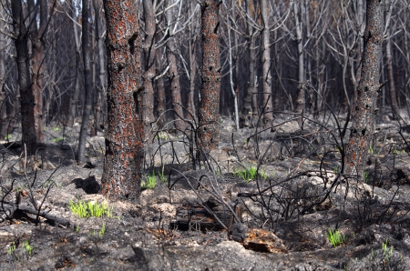 burnt wood: Only 6 days after a forest fire, grass begins to grow Stock Photo