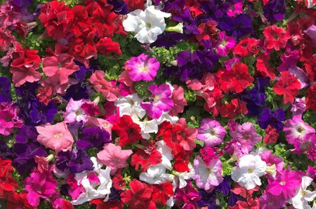 flower bed: Close-up on multi colored petunia flowers