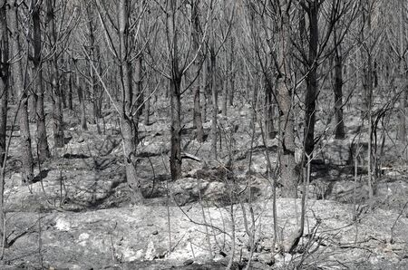 Un bosque de �rboles pin 3 d�as despu�s de los incendios forestales photo