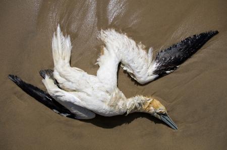 西海岸のフランス大西洋のビーチに横たわって死んで北ギャネット
