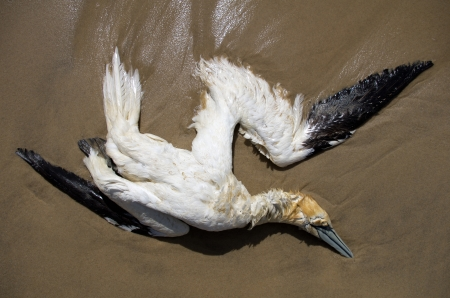 A dead northern gannet lying down on a beach of French Atlantic west coast