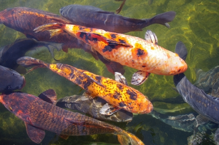Koi carps photo