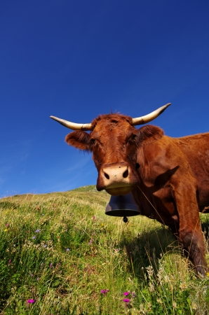 cantal: Curious cow with bell staring at the photographer Stock Photo