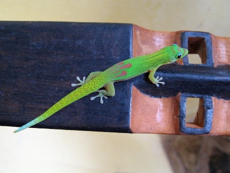 subspecies: Madagascar day gecko is a diurnal subspecies of geckos. It lives on the eastern coast of Madagascar