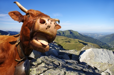 Funny cow sticking out tongue with mountains in background