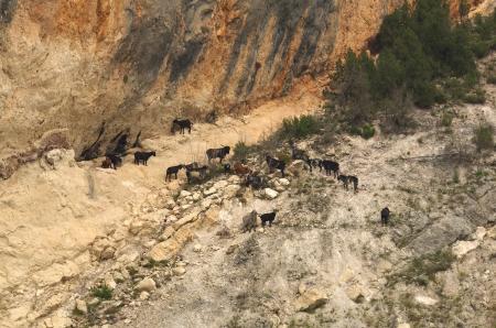 Aragone、スペイン、山中の野生のヤギの群れ
