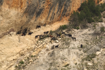 Herd of wild goats in the mountains, Aragone, Spain Standard-Bild
