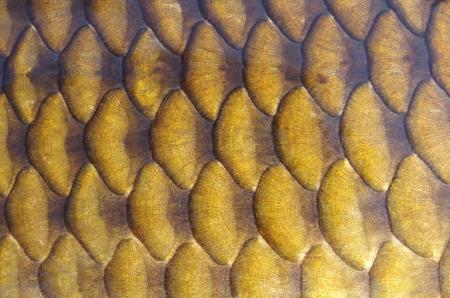 Gold carp scales close-up