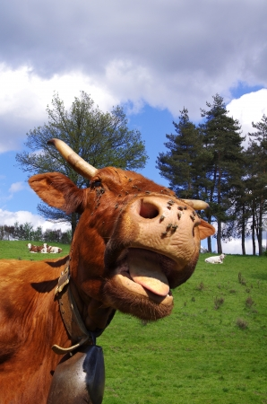 closeup cow face: Funny cow sticking out tongue with pasture in background Stock Photo