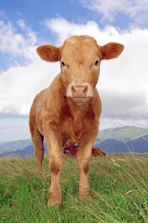 cantal: calf staring at the camera with mountains