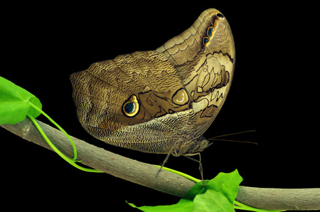 Close-up on owl butterfly