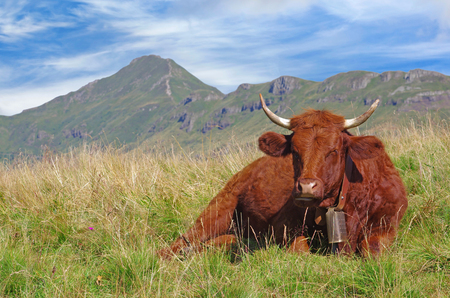 French salers cow with cantal mountains in background