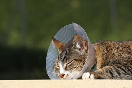 Sick cat. Cat wearing a protective buster collar (also known as an elizabethan collars) to protect it from scratching the wound after operation
