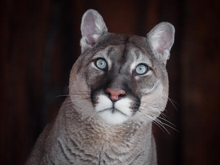 Bellissimo ritratto di puma. Cougar canadese. leone di montagna, puma, pantera, scena invernale nei boschi. fauna selvatica America Archivio Fotografico