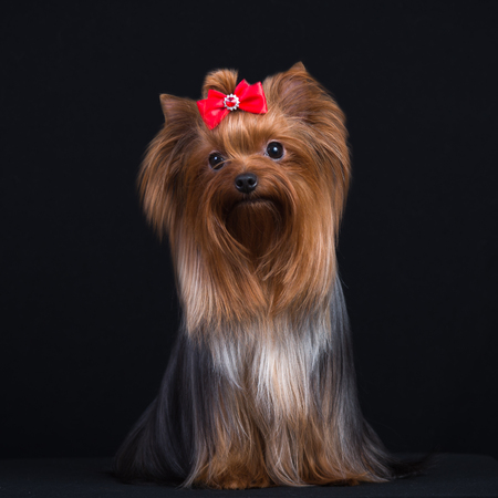Dog breed Yorkshire Terrier on a black background.
