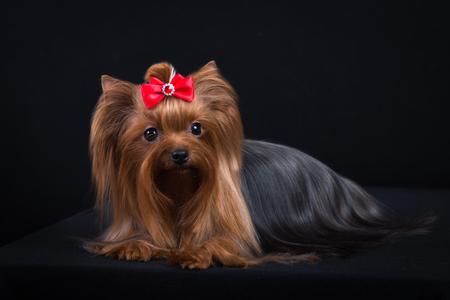 Race de chien Yorkshire Terrier sur fond noir. Banque d'images