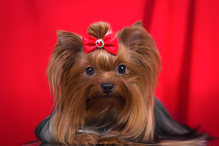 Dog breed Yorkshire Terrier on a red background.