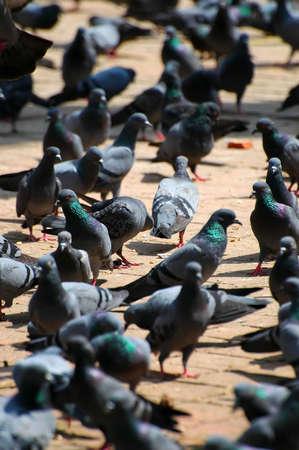 kathmandu: Pigeons in Durbar Square in Kathmandu
