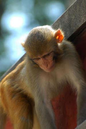 kathmandu: Monkey in Kathmandu Stock Photo