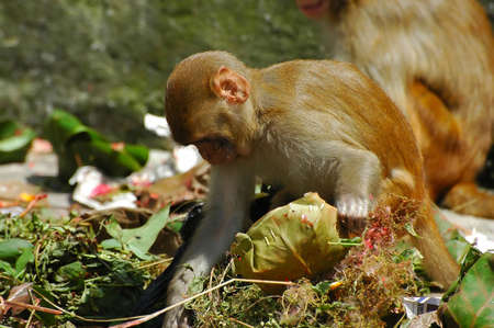 scavenging: Scavenging monkeys in Kathmandu Stock Photo