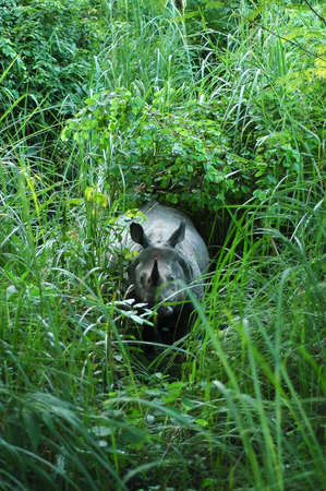 poach: One horned indian rhino in chitwan national park, Nepal