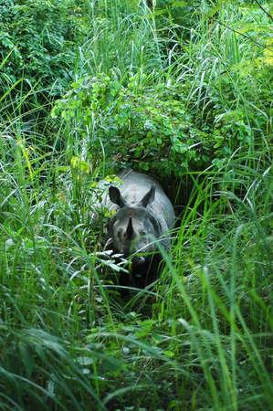 horned: Una de cuernos de rinocerontes indios en parque nacional de Chitwan, Nepal