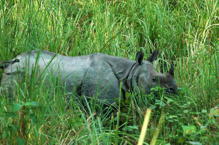 poaching: One horned indian rhino in chitwan national park Stock Photo
