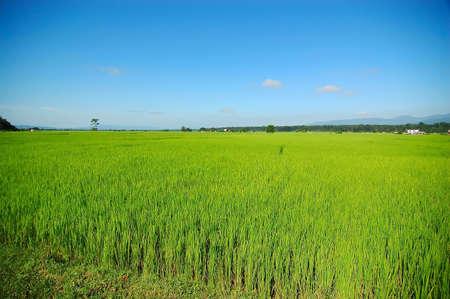 Photo of lush rice fields in Nepal photo