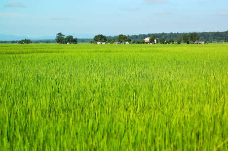 Photo of lush rice fields in Nepal