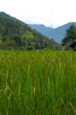 Closeup shot of rice taken in Nepal photo