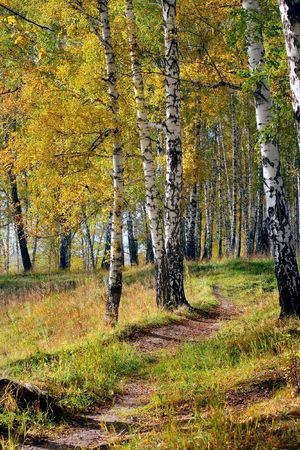 brich: autumn forest landscape with the brich and small path