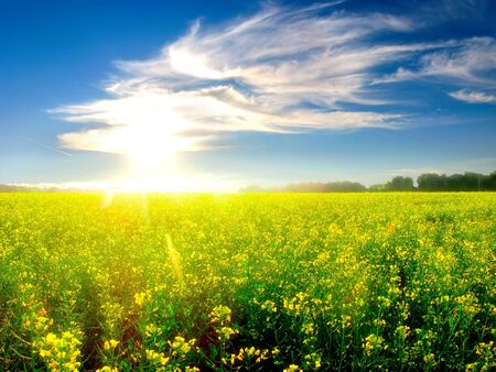 field of flowers: beautiful summer landscape with yellow field and forest