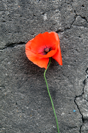 crevice: Poppy Flower on the cracked stone wall background