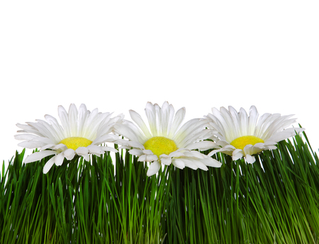 Three Flowers on the Grass on the White Background Closeup photo