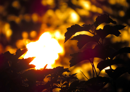 duskiness: Abstract Nature Background with Sunset Light and the Leafs closeup