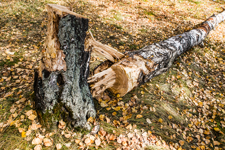 Broken Tree in the Autumn Forest