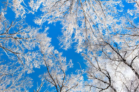 Trees in the Snow on the Blue Sky Background