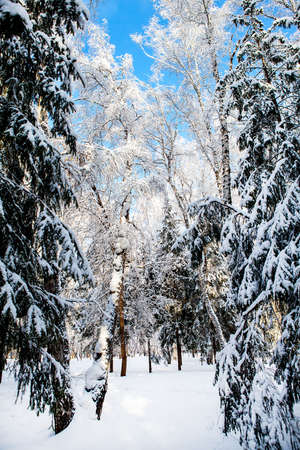 Winter Forest Landscape in the Sunny Day