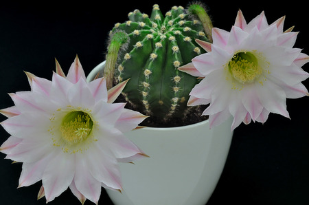 latent: Queen of the night cactus with blossoms
