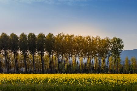 canola: Field of rapeseed in the Italian countryside. Rape flowers landscape.